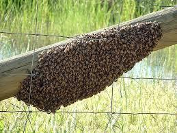 Bee Swarm on Fence